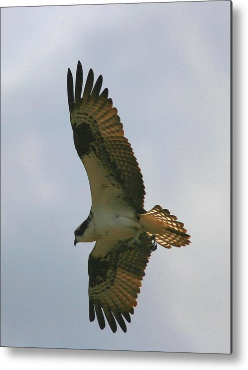 Osprey Metal Print featuring the photograph Osprey 10 by David Dunham