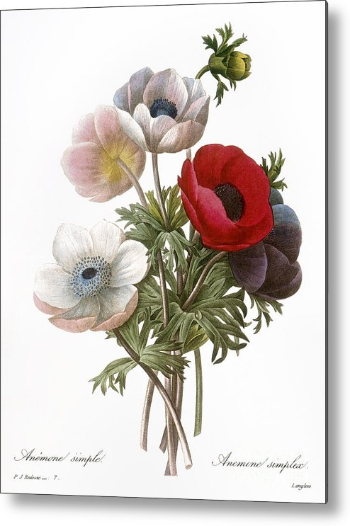1833 Metal Print featuring the photograph Redoute: Anemone, 1833 by Granger