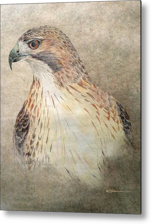 Red-tailed Hawk Metal Print featuring the drawing Study Of The Red-tail Hawk by Leslie M Browning