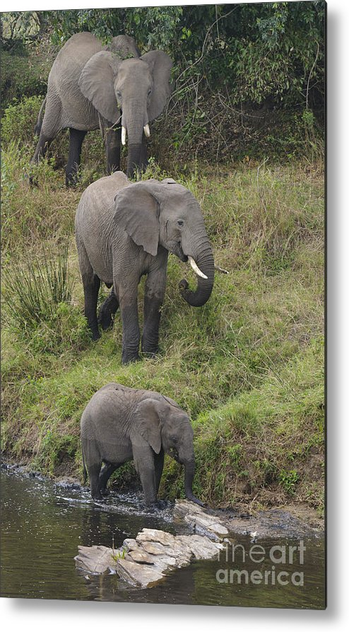 Africa Metal Print featuring the photograph Elephants by John Shaw
