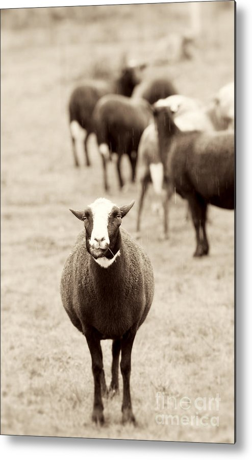 Sheep Metal Print featuring the photograph What by Rebecca Cozart