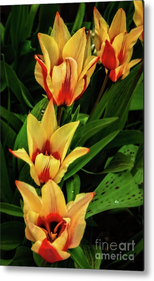 Plants Metal Print featuring the photograph Beautiful Bicolor Tulips by Robert Bales