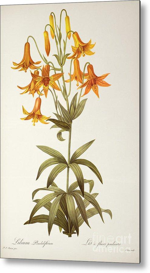 Lilium Penduliflorum Metal Print featuring the painting Lilium Penduliflorum by Pierre Joseph Redoute