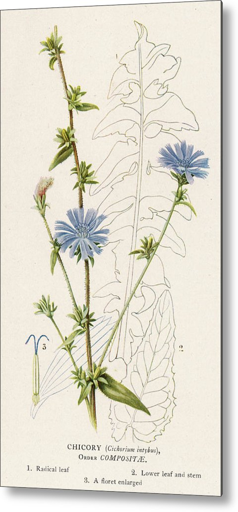 Plants Metal Print featuring the drawing Chicory, Or Succory     Date 1915 by Mary Evans Picture Library