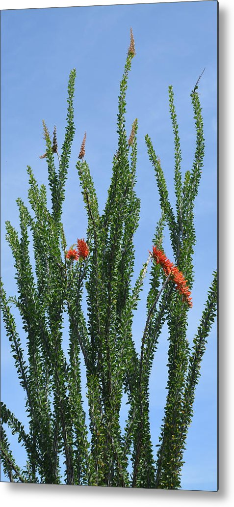 Desert Metal Print featuring the photograph Ocotillo Plant by Aimee L Maher ALM GALLERY