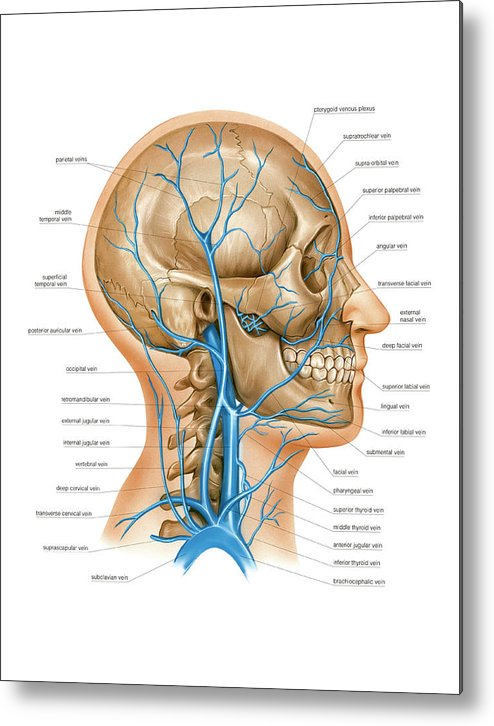 Venous System Of The Head And Neck Metal Print by Asklepios Medical ...