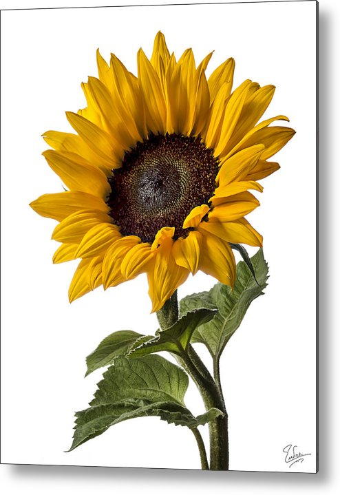 Flower Metal Print featuring the photograph Sunflower by Endre Balogh