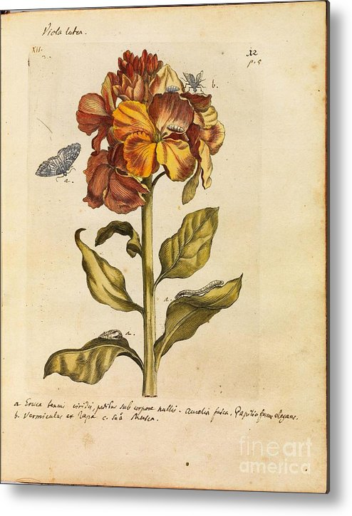 Erucarum Ortus - The Miraculous Transformation And Unusual Flower-food Of Caterpillars - 1717 By Maria Sibylla Merian Metal Print featuring the painting Erucarum Ortus by Celestial Images