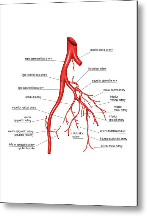 Arterial System Of The Abdomen Metal Print by Asklepios Medical Atlas