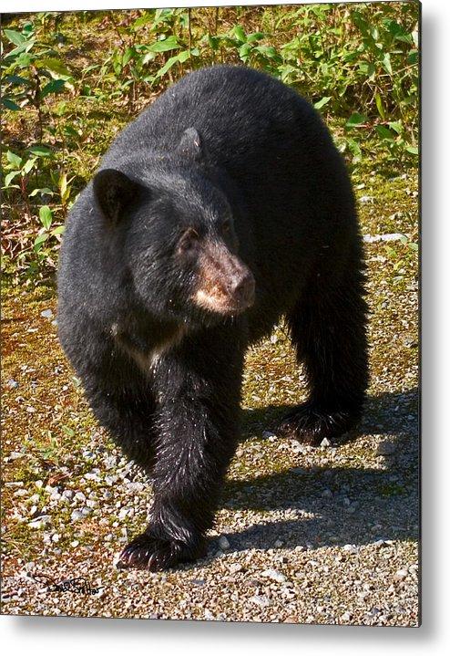 Nature Metal Print featuring the photograph Black Bear by David Salter
