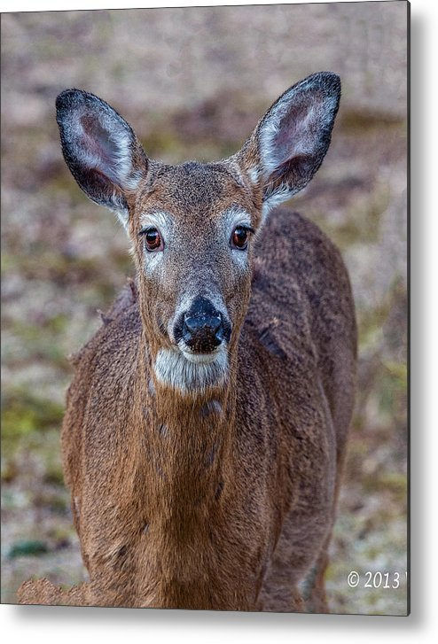 Deer Metal Print featuring the photograph Doe Portrait by William Bitman