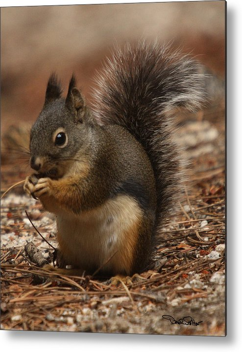 Nature Metal Print featuring the photograph Douglas's Squirrel by David Salter