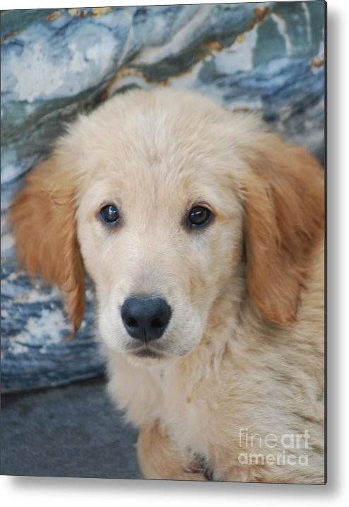 Dog Metal Print featuring the photograph Golden Retriever Puppy by Rames Ratyantarakor