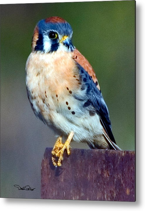 Nature Metal Print featuring the photograph Kestrel by David Salter