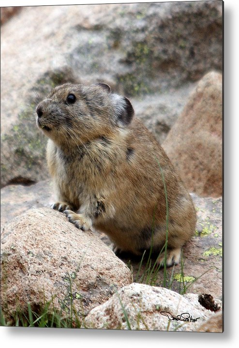 Nature Metal Print featuring the photograph Pika by David Salter