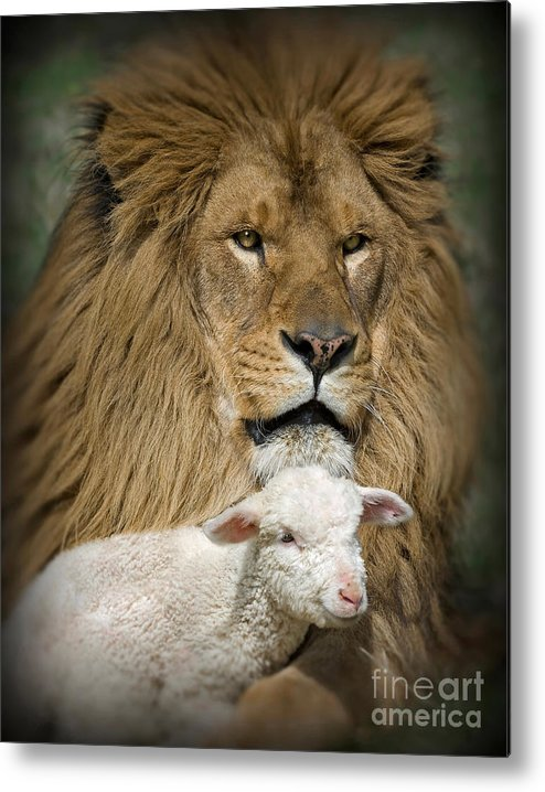 Lion And Lamb Metal Print featuring the photograph True Companions by Wildlife Fine Art