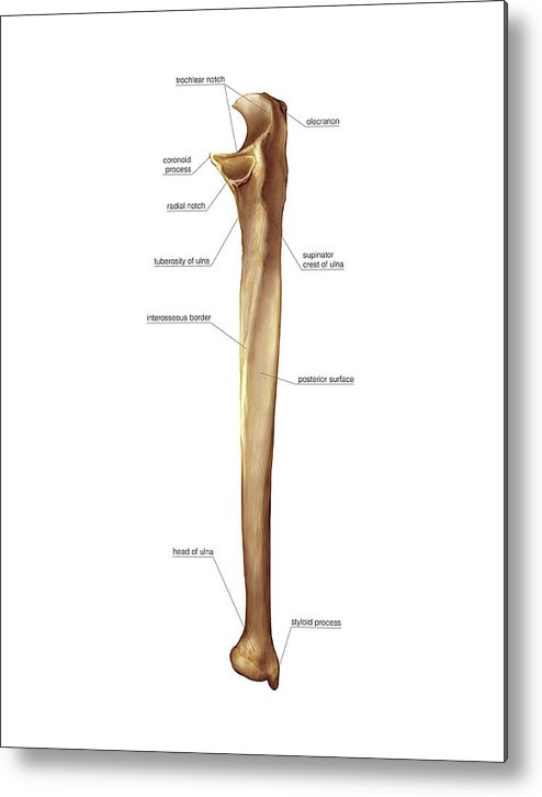 Ulna Bone Metal Print by Asklepios Medical Atlas Ulna Bone