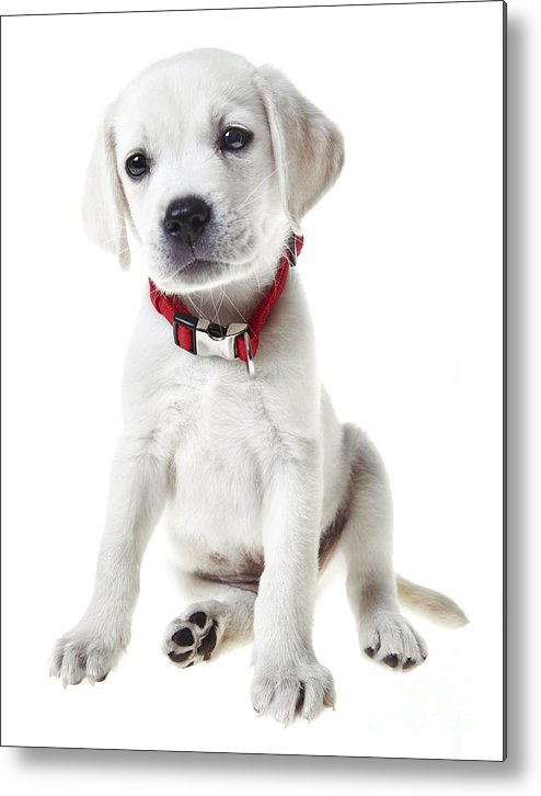 Puppy Metal Print featuring the photograph Yellow Lab Puppy by Diane Diederich