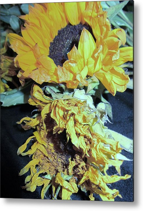Wilted Sunflowers Metal Print featuring the photograph Flower-27 by Todd Sherlock