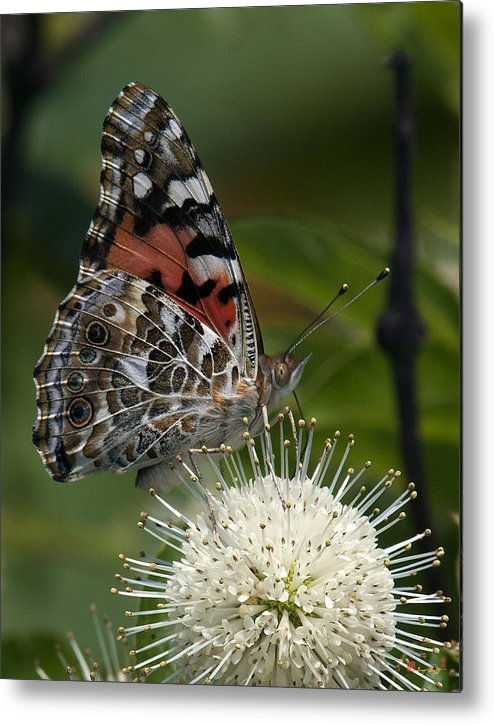 Study Metal Print featuring the photograph Painted Lady Butterfly Din049 by Gerry Gantt