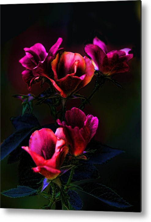 Plant Metal Print featuring the photograph Pink Roses Of The Night by Linda Phelps