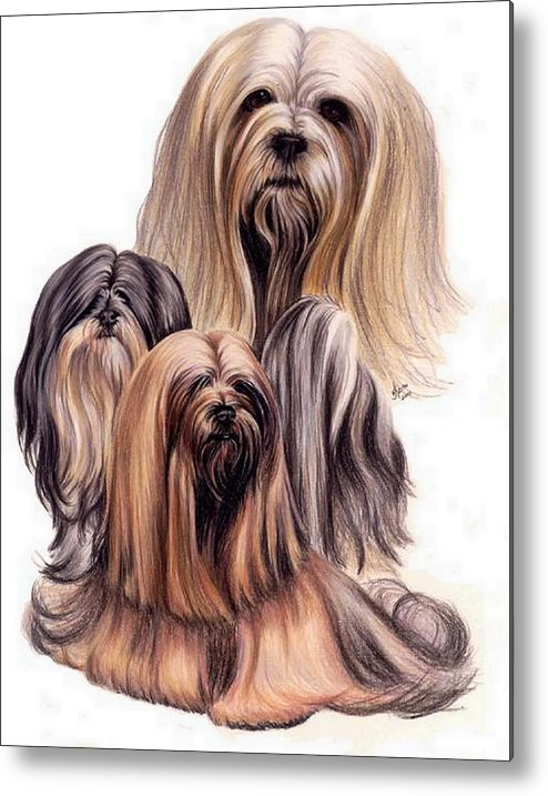 Purebred Metal Print featuring the drawing Lhasa Apso Triple by Barbara Keith