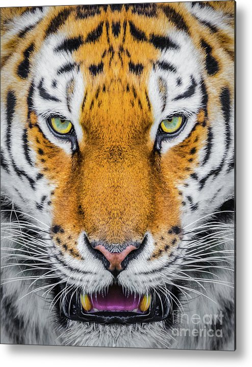 Tiger Metal Print featuring the photograph Tiger by Shaun Wilkinson