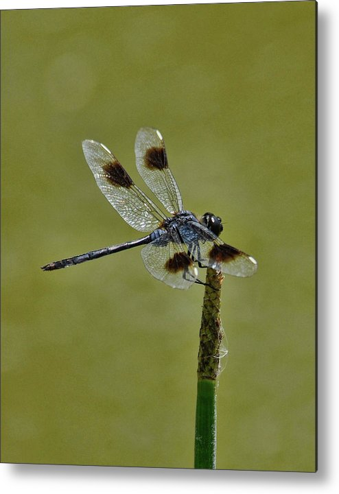 Metal Print featuring the photograph Dragonfly by Keith Lovejoy