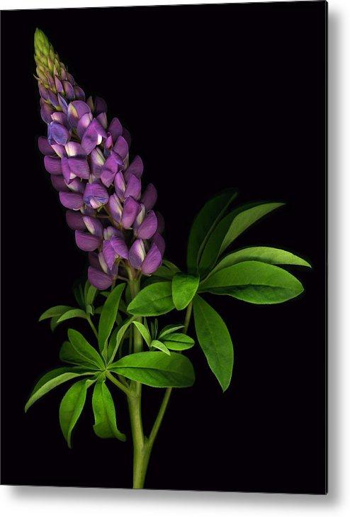 Scanart Metal Print featuring the photograph Glorious Purple Lupine by Deborah J Humphries