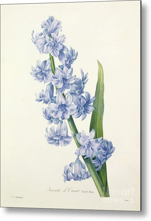Hyacinthus Metal Print featuring the drawing Hyacinth by Pierre Joseph Redoute