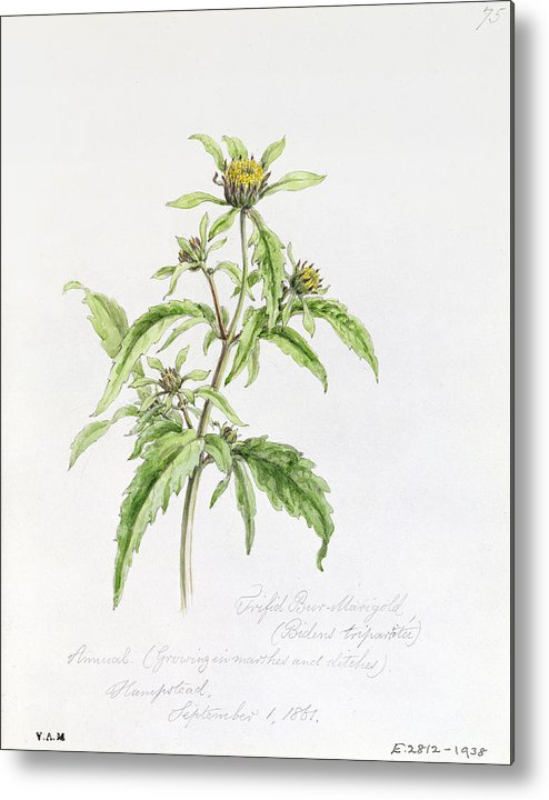 Botanical Drawing; Botany; Yellow Flowers; Flower; Plant Metal Print featuring the painting Marigold by WJ Linton
