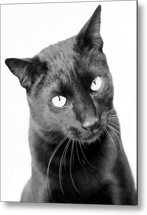 Cats Metal Print featuring the photograph Pablo by Heather S Huston