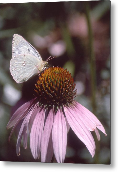 Echinacea Metal Print featuring the photograph Purple Coneflower by Jerry Weinstein