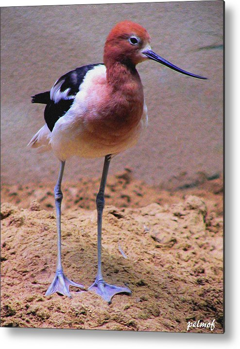 Sandpiper Metal Print featuring the digital art Rosey-breasted Sandpiper by Patricia Fatta