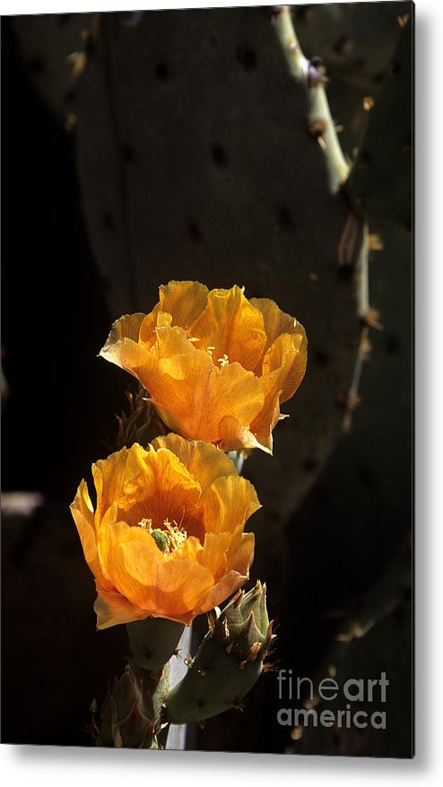Cactus Metal Print featuring the photograph Apricot Blossoms by Kathy McClure