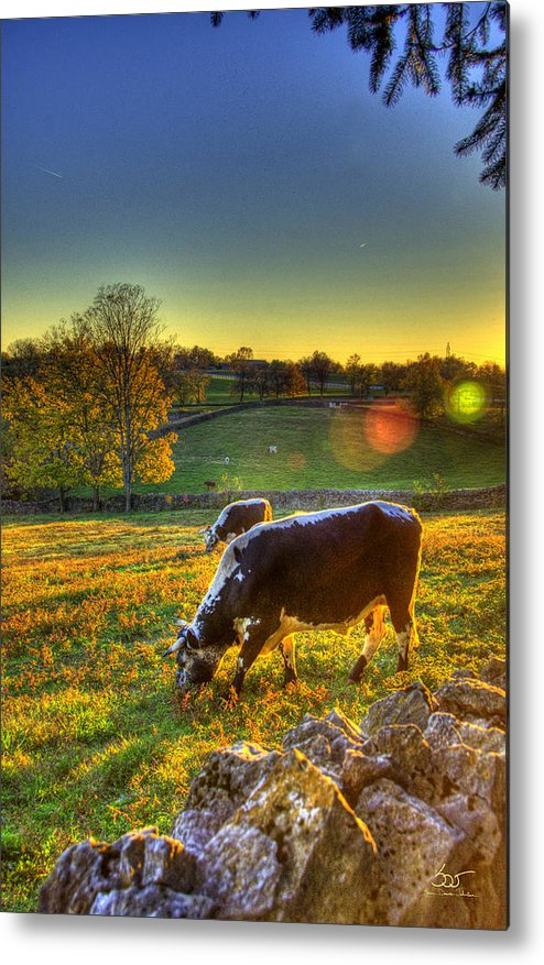 Shaker Metal Print featuring the photograph Cows And Stone Fences by Sam Davis Johnson