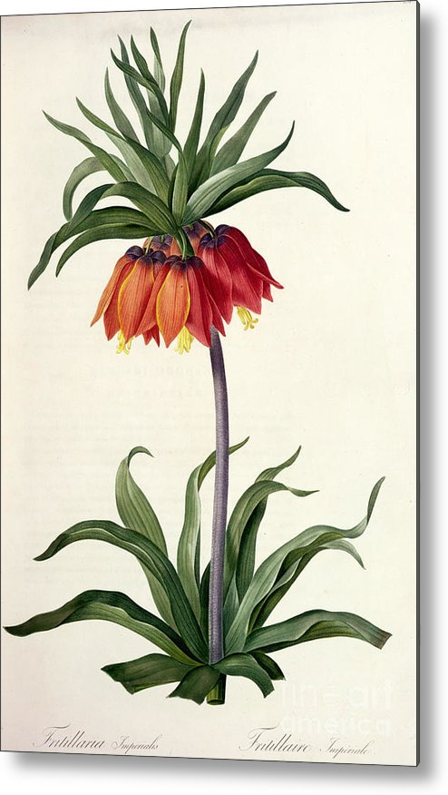 Fritillaria Metal Print featuring the drawing Fritillaria Imperialis by Pierre Joseph Redoute