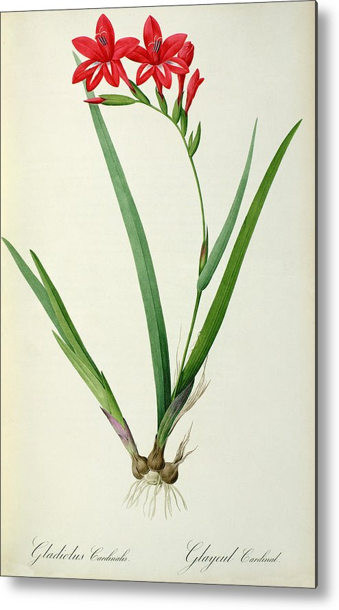Gladiolus Metal Print featuring the drawing Gladiolus Cardinalis by Pierre Joseph Redoute