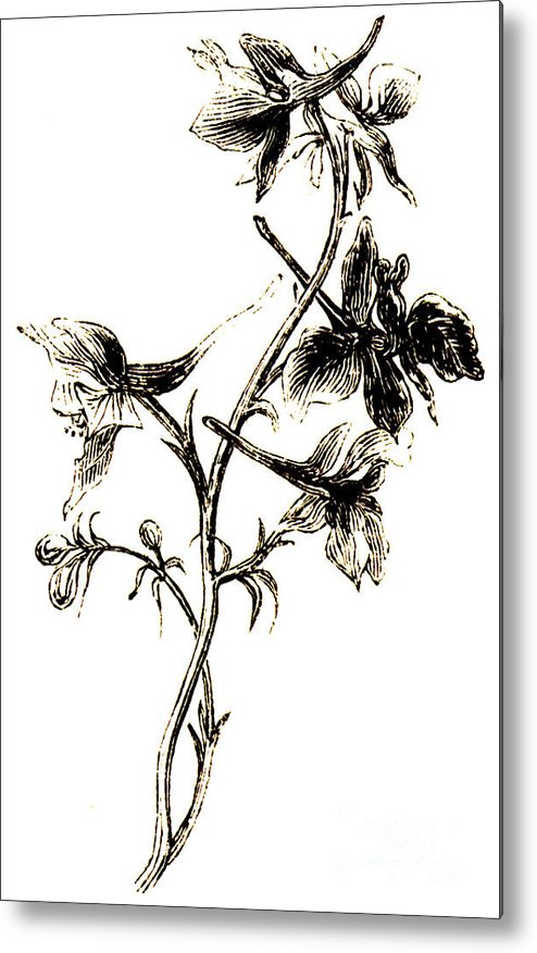 Delphinium Metal Print featuring the drawing Larkspur by English School
