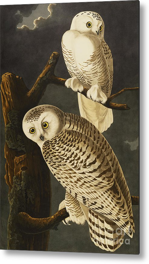 Snowy Owl (nyctea Scandiaca) Plate Cxxi From 'the Birds Of America' (aquatint & Engraving With Hand-colouring) By John James Audubon (1785-1851) Metal Print featuring the drawing Snowy Owl by John James Audubon