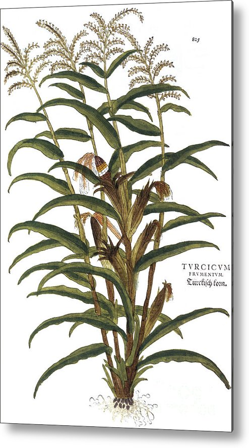 1730s Metal Print featuring the photograph Turkish Corn, 1735 by Granger