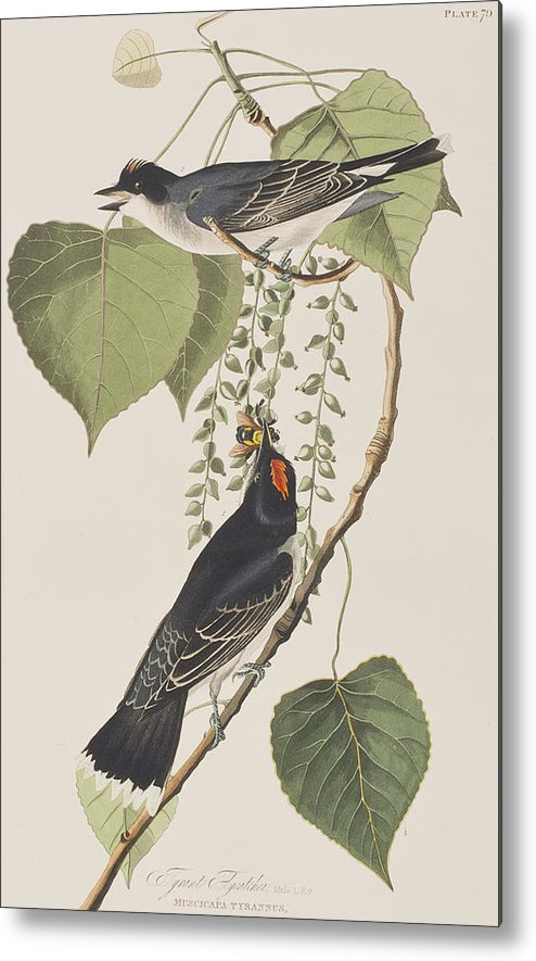Tyrant Fly Catcher Metal Print featuring the painting Tyrant Fly Catcher by John James Audubon