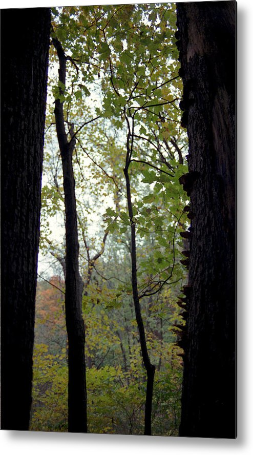 Tree Metal Print featuring the photograph Vertical Limits by Randy Oberg