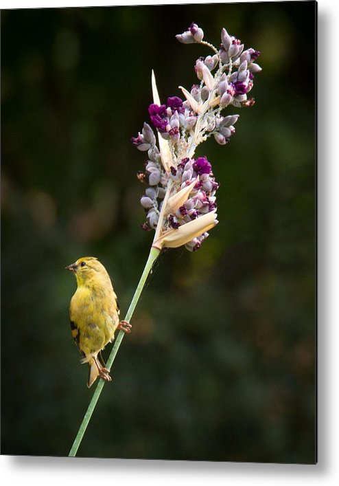 Bird Metal Print featuring the photograph Show Off by Jean Noren