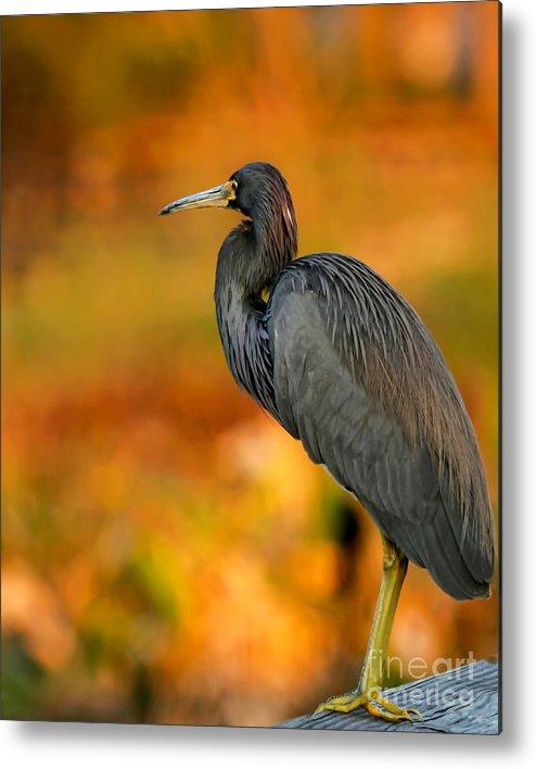 Winter Metal Print featuring the photograph Autumn Blue Heron by Sabrina L Ryan