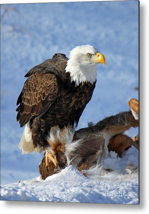 Bald Eagle Metal Print featuring the photograph Bald Eagle And Carcass by Michael Johnk