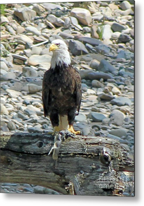 Bald Eagle Metal Print featuring the photograph Bald Eagle With Fish On The St. Joe River by Michael Johnk