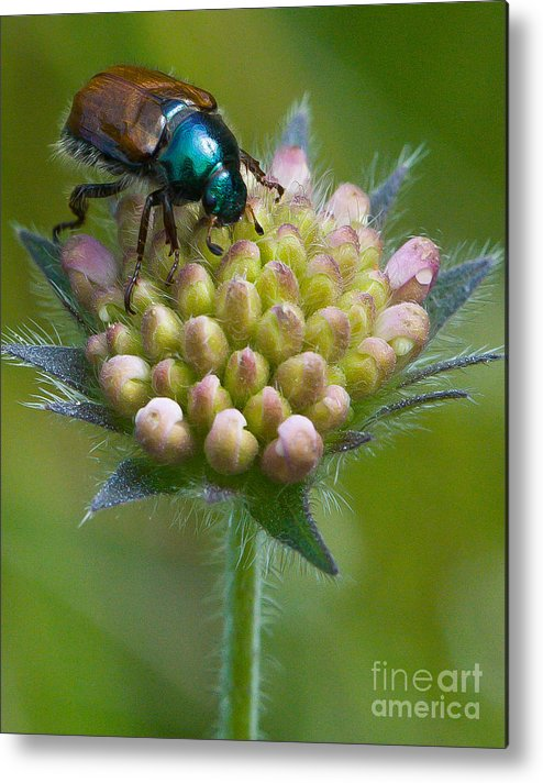Animal Metal Print featuring the photograph Beetle Sitting On Flower by John Wadleigh