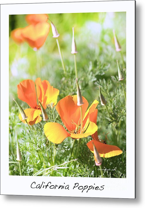 California Poppies Metal Print featuring the photograph California Poppies by Artist and Photographer Laura Wrede