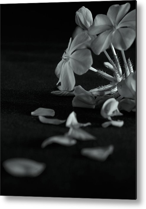 Black And White Metal Print featuring the photograph Charm Is Deceptive... Beauty Fleeting by Michael Cockrell